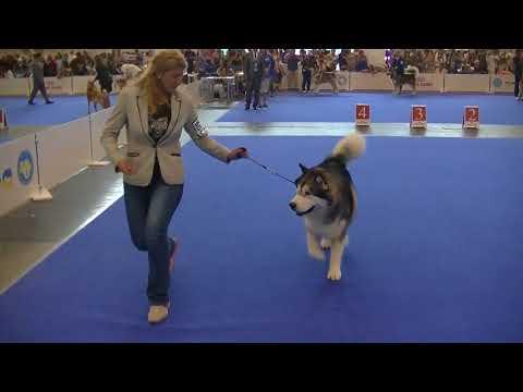 Alaskan Malamute Euro Dog Show 2017