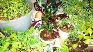 Витаминный огород на балконе в феврале