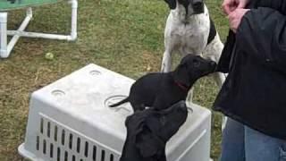 10 Week Old Lab Puppy