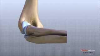 Anatomía de la articulación del codo.