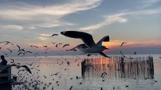 นกนางนวล ตากอากาศบางปู
