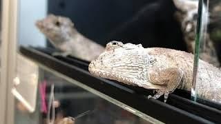 Anolis (Chamaeleolis) barbatus COUPLE - Faux caméléon de Cuba vidéo