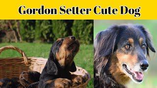 Gordon Setter Dog Most and Amazing Dog #short #shorts