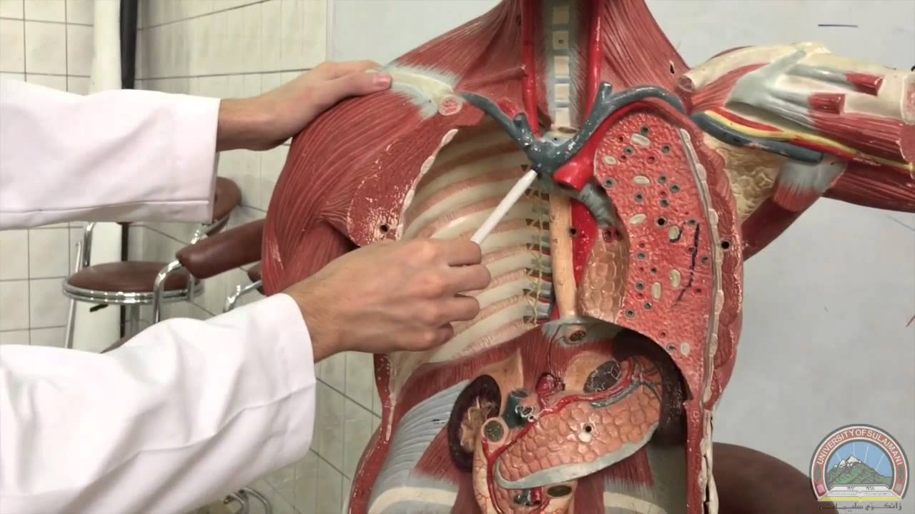 Anatomy of the Thoracic Cavity - 1st Plastic Model - YouTube
