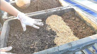 Tái sử dụng đất cũ không bỏ đất không cần phơi nắng trồng liền luôn ( p1 )  | Khoa Hien 367
