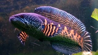 Snakehead Aquariums