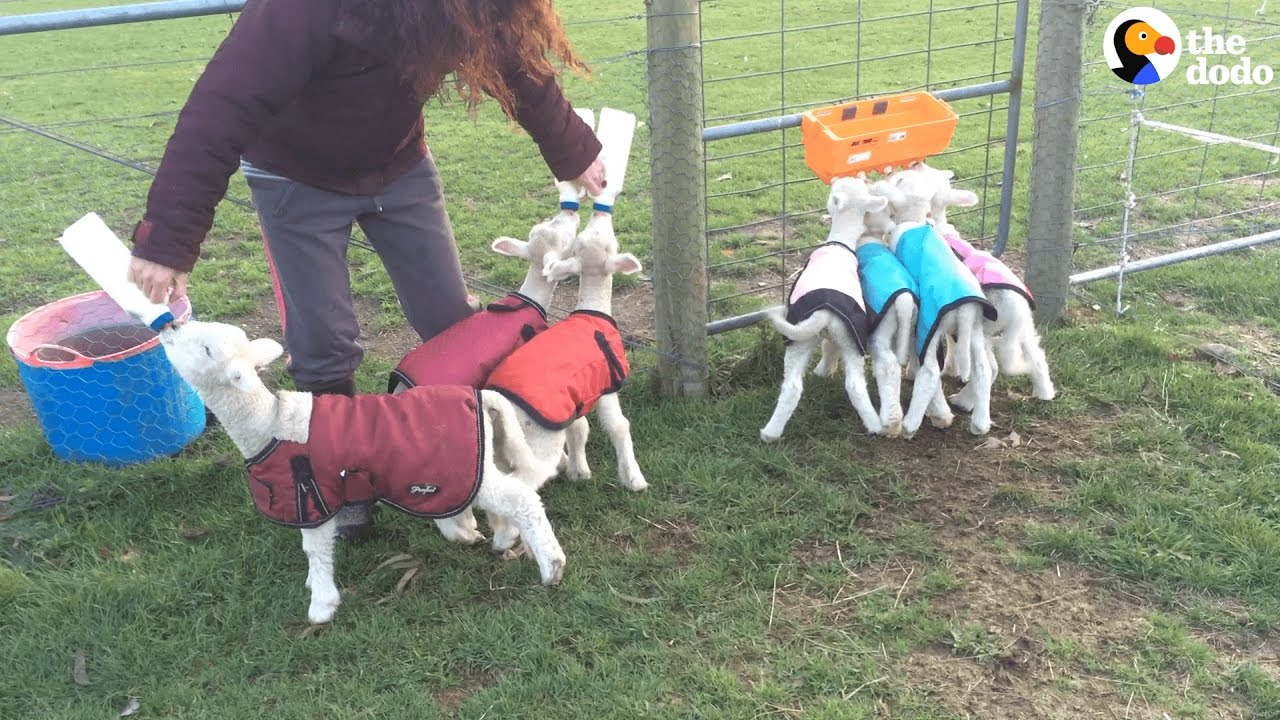 Little Lambs Race To See Who Gets To The Food First