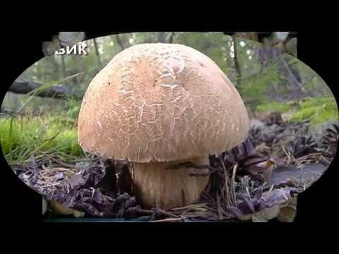 Вопрос: Где растут опята в Алтайском крае В каких районах Где найти?