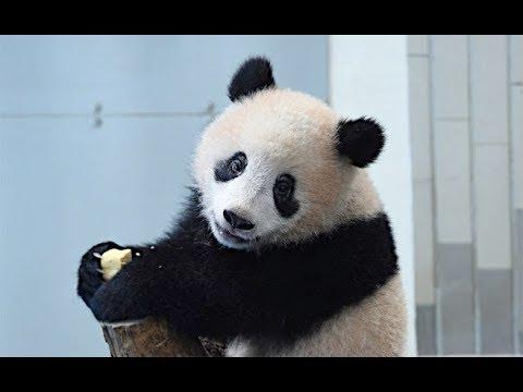 シャンシャン、パンダ団子で「もぐもぐタイム」=ジャイアントパンダ276日、277日齢の映像