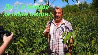 видео Саженцы плодовых деревьев. Саженцы ягодных кустарников. Саженцы плодовые купить.
