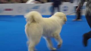 WDS 4367 - GREY BOY IZ DOMA LANDER (пиренейская горная собака)