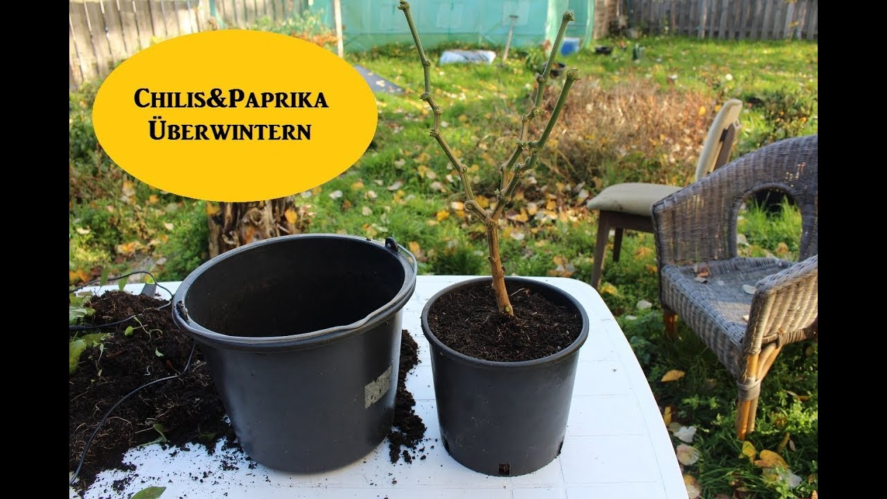 capsicum chilis paprika berwintern zur ckschneiden youtube