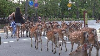 奈良公園 浮雲園地にたくさんの鹿さんたちがいました、そして大仏殿前交差点が大変なことに nara deer channel thumbnail