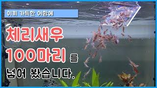 체리새우 키우기 - 이끼 가득한 수초어항에 체리새우 1…