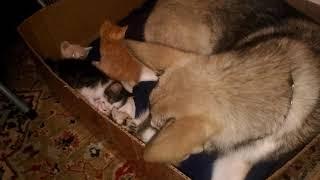 Восточно Сибирская Лайка вылизывает котят! Кошка и собака