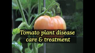 Tomato disease and care , tomato plant disease control