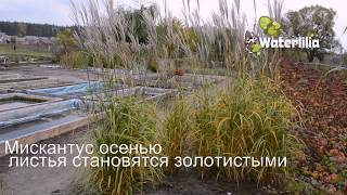 видео Декоративные злаки купить Украина