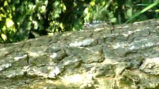 Kleine bonte specht in Bronnegerveen