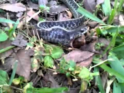snake spits out a frog in my yard yuck youtube