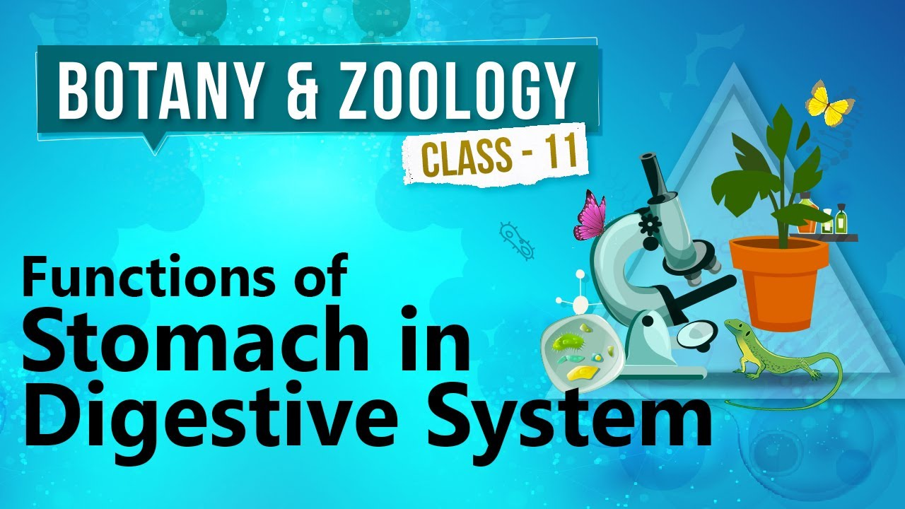 Functions Of Stomach In Digestive System Human Digestive System