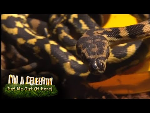 Amir Khan Meets His Fiercest Opponent in Critter-Cal Rescue! | I'm A Celebrity...Get Me Out Of Here!