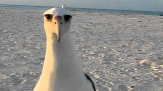 Laysan Albatross wants to dance at Midway Atoll Beach!