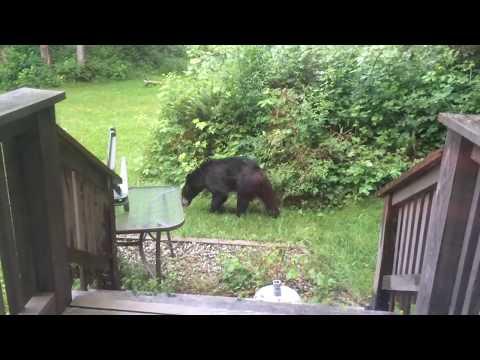 BACK YARD BLACK BEAR - Sechelt BC Canada