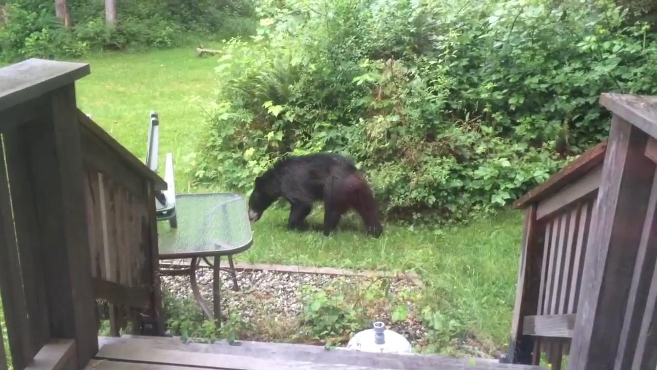 BACK YARD BLACK BEAR - Sechelt BC Canada - YouTube