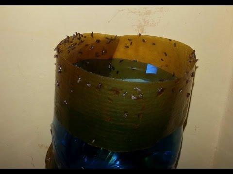 muszki owocówki drosophila,ja wyłapać owocówki w domu sposób na muszki