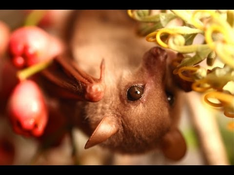 This Video Of A Blossom Bat Will Convince You That Bats Are The Cutest