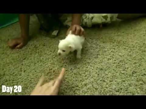 Watching a Puppy Grow - 16-20 Days Old - Newborn Pomeranian Puppy.