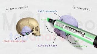Череп #3: Височная кость; каналы височной кости