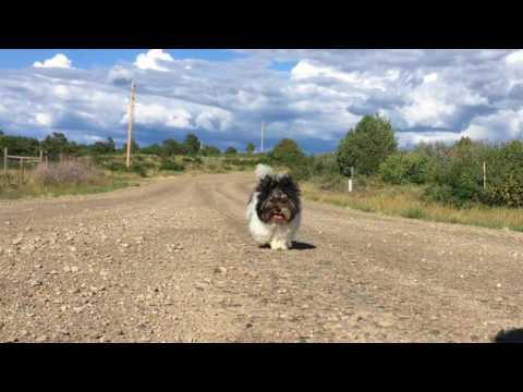 Sir Macho Mini Biewer Terrier Boy