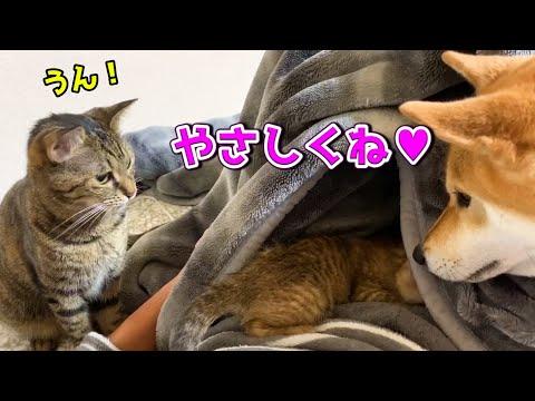 柴犬立ち合いのもと、先住猫リリと子猫の直接ご対面♥ Shiba Inu watches a kitten like a mother