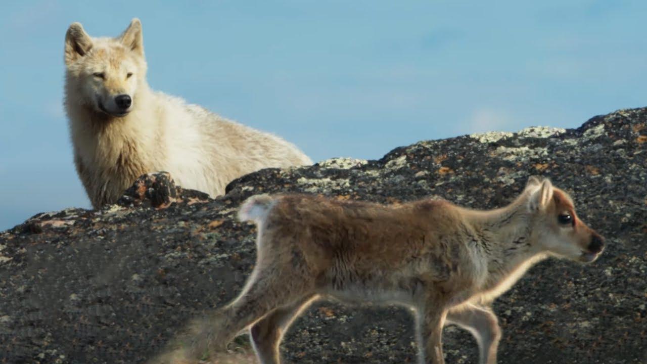 Arctic Wolf Hunts Baby Caribou | Planet Earth II | BBC Earth
