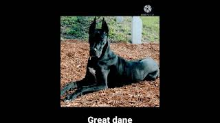 Great dane dog breed.