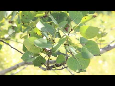 Plants To Know: Quaking Aspen