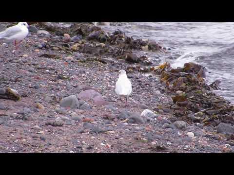 Mediterranean Gull - red darvic (polish ringed) - East Wemyss