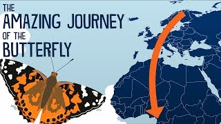 This Butterfly Travels 15000 km (9300 mi) per Year!