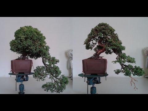 Demostración Juniperus Procumbens Nana