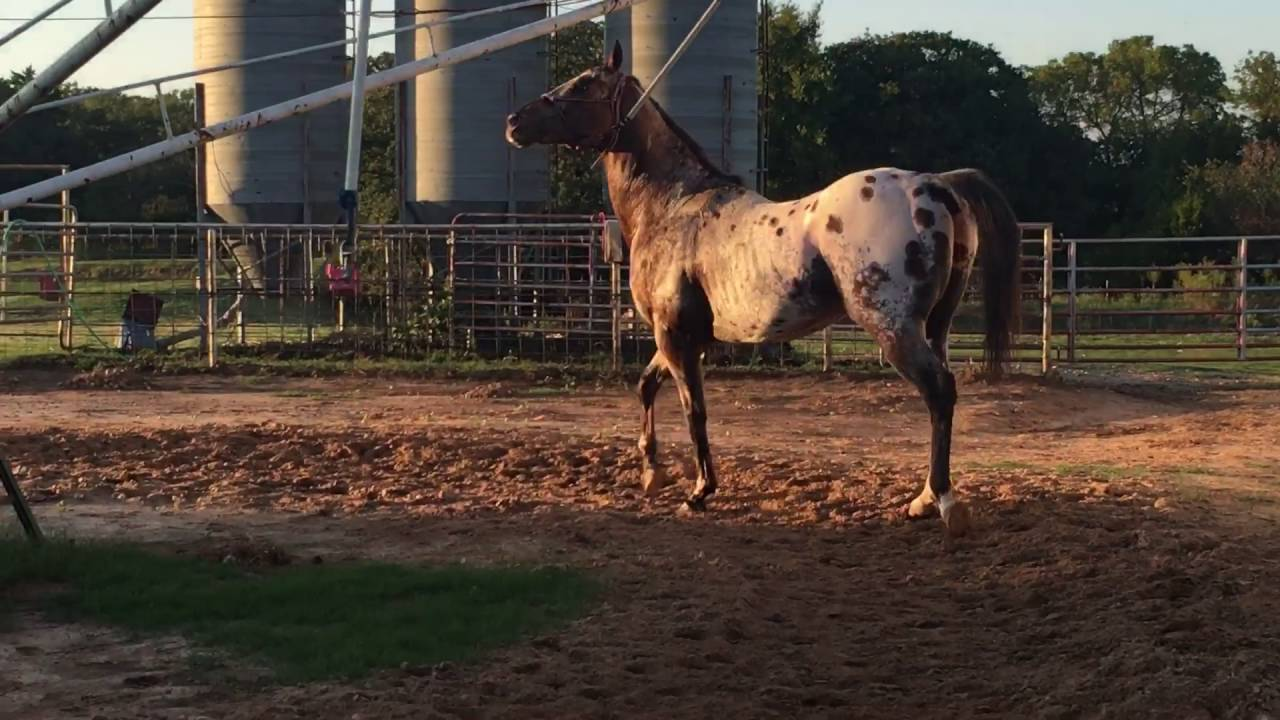 Champion Appaloosa Racing Sire With Intent at 13 years old walking off a  trailer ride