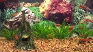 Красные меченосцы (живородящие аквариумные рыбки) в общем аквариуме - совместимость с барбусами