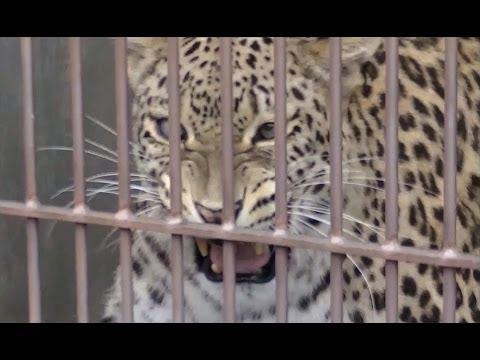 ヒョウの鳴き声 & 威嚇(ペルシャヒョウ)/ 東山動物園