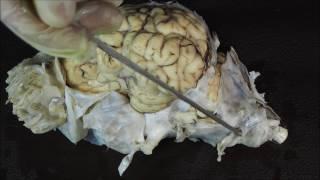оболочки головного мозга домашних животных