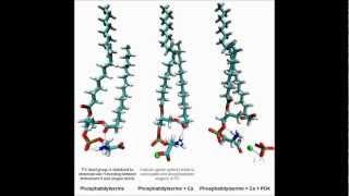 Matrix Vesicles & Calcification: Molecular dynamic simulations of phosphatidylserine complexes