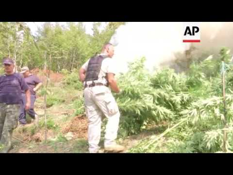 Police campaign to uproot cannabis in Albania