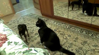 той терьер VS кот