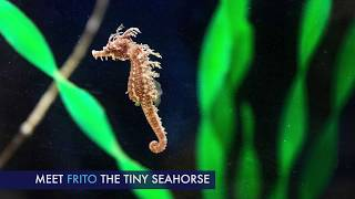 frito-the-tiny-seahorse-rescued-from-fishing-line-entanglement