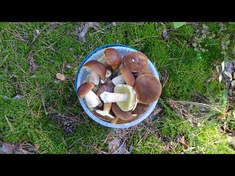 Собираем польские грибы, сыроежки, белые грибы