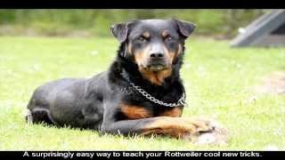Rottweiler Show Training Guide
